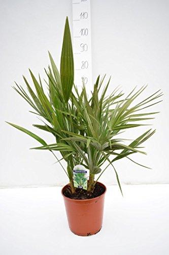 Palme, Chamaerops humilis, Zwergpalme - verschiedene Größen (60-80cm - Topf Ø 23cm)