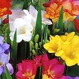 Single Freesia - Mixed Colours - Perennial Bulbs -Packs of 25 & 50 - Free P & P (25) - Cottage Garden Bulbs - amazon.co.uk