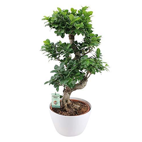 Ficus Zwei Keramik-Gefäße zur Auswahl