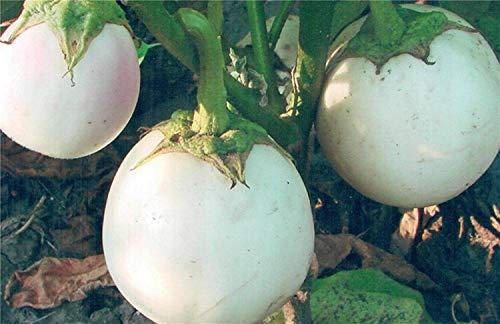 Shoppy Star Shoppy étoiles: Graines Blanc Aubergine Globus Heirloom russe de culture biologique NON-OGM