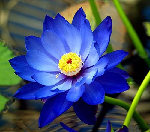 10 Semillas Nelumbo Nucifera Azul Zafiro