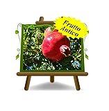 Melograno Dente di Cavallo – Cespuglio – Pianta da frutto antico su vaso da 26 - albero max 160 cm - 4 anni