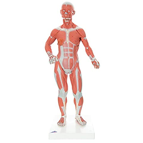 3B Scientific Human Anatomy - Muscular Figure 1/ 4 Life Size, 2 Part