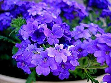 Semillas BloomGreen Co. Flor: hybrida de la verbena azul mezclado plantas con flores semillas para jardín del envase [Home Garden Semillas Eco Pack] Semillas de la planta