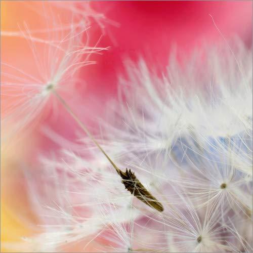 Acrylglasbild 50 x 50 cm: Pusteblume Polychrom von Ludger Föster - Wandbild, Acryl Glasbild, Druck auf Acryl Glas Bild