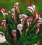 SEMI PLAT FIRM-Oxalis Blumen Birnen-Farbe Dreh Oxalis Glhbirnen Mondo Seltene Blumen fr Garten-Ausgangs Blumen pflanzt Semillas GRSSE: NO 4 samen nur