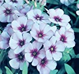 Flammenblume, Phlox 15 Samen Summer Long Loght Blue'' - Himmel blau