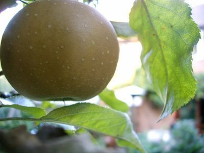egremont-russet-apple-tree-4-5ft-tall-self-fertileready-to-fruithardy-vigorous