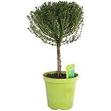 Amazon.de Pflanzenservice Kräuter, Thymian Stämmchen, 1 Stück, grün, 60 x 15 x 15 cm, 853701
