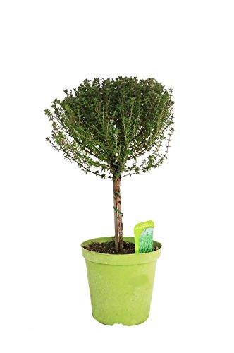 amazonde-pflanzenservice-krauter-thymian-stammchen-1-stuck-grun-60-x-15-x-15-cm-853701