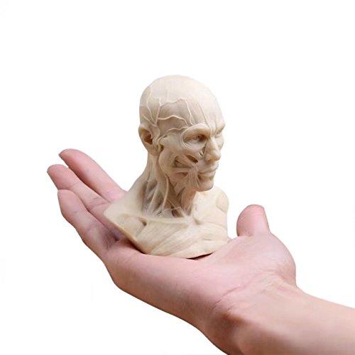 l Anatomie Skull Head Muscle Knochen Medical Kunst für die Schule ()
