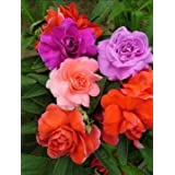 NkS Ats Balsam Double Mixed Flower Seed -100 Seeds