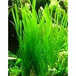Italian Val - Vallisneria spiralis - Live Aquarium Plants 3