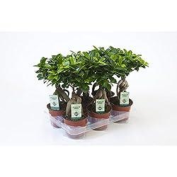 Ficus Ginseng, Ginseng Bonsai, (Ficus microcarpa), asiatischer Bonsai, verschiedene Größen (im 12cm Topf, ca. 30cm hoch)
