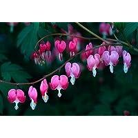 FES Quintessentials Flower Essences Services Bleeding Heart 30ml Dosage by Natures Wisdom preisvergleich bei billige-tabletten.eu