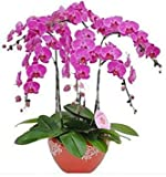 Exotische Blumen Orchid Seeds Cattleya Multicolor Schmetterling Orchidee Bonsai Monoflord Mini Gartenpflanze einfach wachsen 200 PC/bag