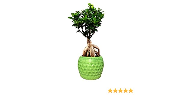 Abana Homes Grafted Bonsai Live Plant With Beautiful Ceramic Pot 4 Years Old Bonsai Tree For Home Amazon In Garden Outdoors