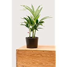 Evrgreen Goldfruchtpalme 30-35 cm inkl. Topf in anthrazit moderne robuste Zimmerpflanze in Hydrokultur halbschattig Areca lutescens 1 Pflanze