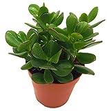 Argent, (CRAS particules Ovata), facile d'entretien Chambres Bac ? plante, arbre,...