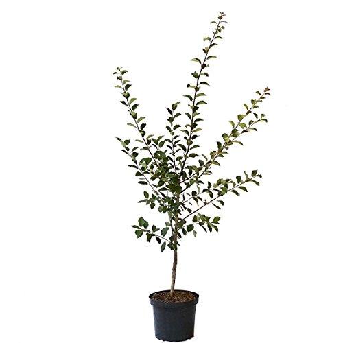 Müllers Grüner Garten Shop 1a-plant Artländer Zuckerpflaume kleine süße Pflaume Buschbaum 150-170 cm 10 Liter Topf