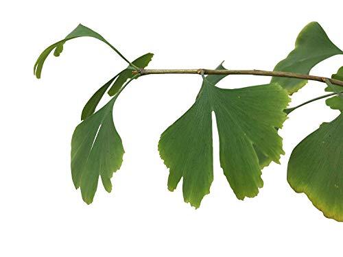 Echter Ginkgo -Ginkgo biloba- 3 frische Samen ***Kann über 1000 Jahre alt werden und 40 Meter hoch***