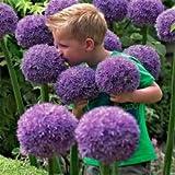 UPSTONE Garten - Riesen Zierlauch Sternkugel Lauch Allium giganteum Blumenlauch mehrjährig winterhart (50, Purple Sensation)