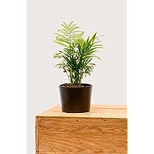 Evrgreen Bergpalme 25-30 cm inkl. Topf in anthrazit trendige pflegeleichte Zimmerpflanze in Hydrokultur für Schatten Chamaedorea elegance 1 Pflanze