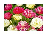 100x Mohn Bridal Bouquet mix, doppelblütig -Eschscholzia Californica Samen KS355