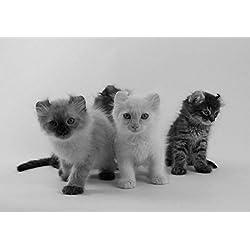 Curl Americano 4–Amazing–Póster de gato con Nueva–Póster de mejor calidad mejor imagen–Mejor Precio–Tamaño A4