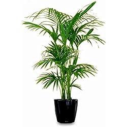 Kentia Palme Howea Forsteriana wunderschöne Zimmerpflanze sehr pflegeleicht 90-110cm Pot Ø 19cm