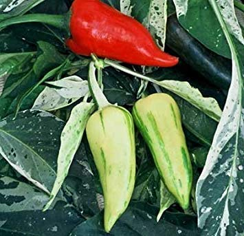 VISA STORE 30 Seed of Fish Pepper - Hot Peppers