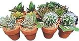 AD TREND Set di 12 Vasi con Piantine Grasse Artificiali (Diametro 7cm x Altezza 11cm Circa)