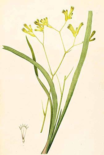 JH Lacrocon Pierre-Joseph Redoute - Anigozanthos Flavida Leinwandbilder Reproduktionen Gerollte 35X50 cm - Blume Gemälde Gedruckt Wandkunst