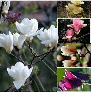 GEOPONICS 10seeds / pack Huang Yulan Magnolias/Obst/s Samen -