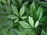 PLAT FIRM KEIM SEEDS PLATFIRM-200 Gynostemma pentaphyllum Samen, Jiaogulan Samen