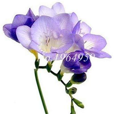 Shopmeeko Graines: Vase spécial coloré Bonsai Fleur Freesia Bonsai Décor rare orchidée Illuminez votre jardin personnel Bonsai 100 Pcs/Sac: 7