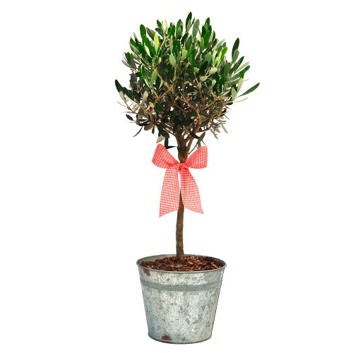 olive-tree-in-a-vintage-container-superb-gift-plant-flower-gift-for-birthdays-for-all-occasions