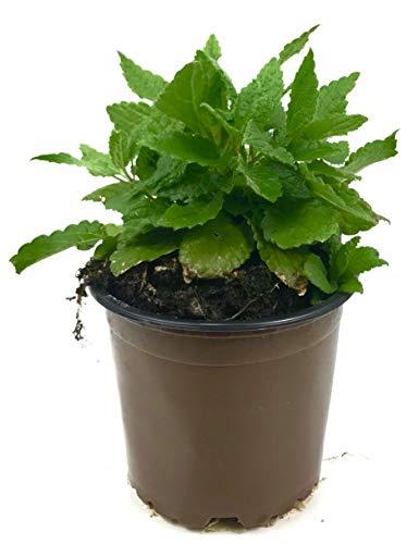 Knollenziest (Pflanze), Stachys sieboldii