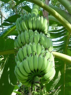 AGROBITS 100 Pcs nain Banana Bonsaï Tropical Fruit extérieur Balcon Jardin Fleur en pot pour la plantation d'accueil, Germination Taux de 95%: 5