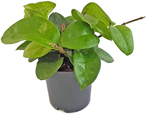 """Fangblatt - Hoya carnosa""""Krinkle 8"""" - wunderschöne hängende Zimmerpflanze ebenso Wachsblume oder Porzellanblume genannt - pflegeleichte Pflanze für das Wohnzimmer mit fantastischen Blüten"""