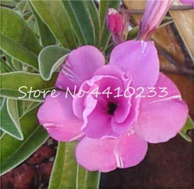 GEOPONICS SEMI: 2 pezzi di vero Adenium Esotico Fiore rosa del deserto Bonsai Fiori in vaso Balcone Bonsai Multi-Color Petali Piante grasse Tree: t