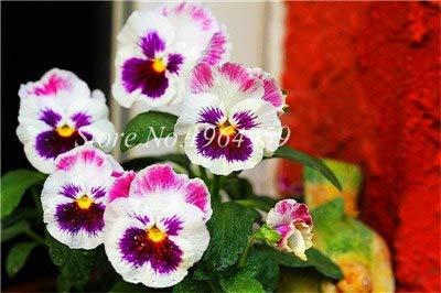 prime vista Planta de jardín Mixed Pansy Bonsai Plant 100 piezas Flores Pensamiento colorido So Bright & amp; Hermoso color Ilumina tu casa en el jardín: 7