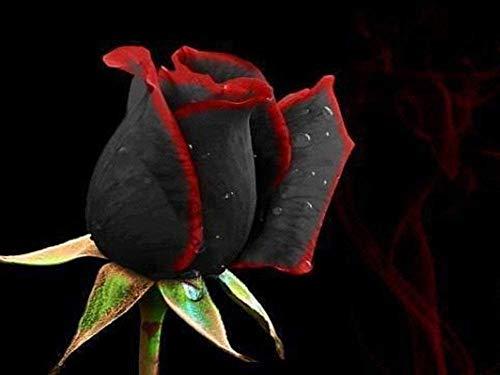 graines Bonsai Fleur 100 Pcs Rare Étonnamment Belle bord rouge noir rose graines jardin bricolage Livraison gratuite
