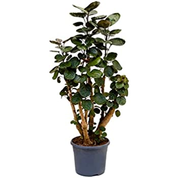 fiederaralie polyscias fabian ca 120 cm gro e zimmerpflanze 26 cm topf garten. Black Bedroom Furniture Sets. Home Design Ideas
