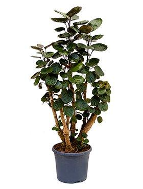 fiederaralie-polyscias-fabian-ca-120-cm-groe-zimmerpflanze-26-cm-topf