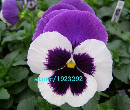 Bloom Green Co. Beautiful red and brown mixed pansy flower seeds 1 Pack 100 Seeds ideal DIY your home& garden original packing: Black