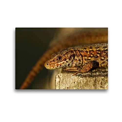 Calvendo Premium Textil-Leinwand 45 cm x 30 cm quer, Mooreidechse im Hochmoorgebiet   Wandbild, Bild auf Keilrahmen, Fertigbild auf echter Leinwand, Leinwanddruck: Zootoca Vivipara Tiere Tiere