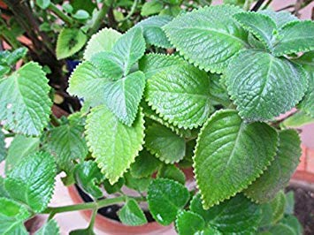 CUSHY Cuban Oregano, (5 Live Pflanze) Indian Borretsch, Mexikanische Minze, Thymian Spanisch (Mexikanischer Oregano Pflanze)