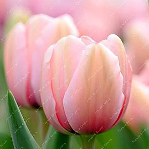 Shopmeeko GRAINES: 2 pièces National Fleur Tulipe de vivaces Jardin Plantes nombreuses variétés Bonsai colorés cadeaux de haute spécification Fleurs: 2TulipsPink