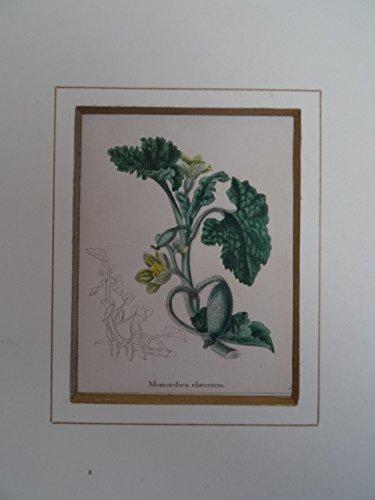 Momordica elaterium. Kolorierter Kupferstich von Benjamin Maund aus: The Botanic Garden... Um 1830. 7,5 x 6 cm. Unter Passepartout.